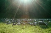 Sheep in Weimar
